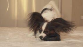 年轻狗品种Papillon大陆玩具西班牙猎狗咬橡胶轮胎-乐趣轮胎更换者股票英尺长度录影 影视素材
