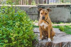 年轻狗斯塔福德郡狗在绿色灌木附近镇静地坐 图库摄影