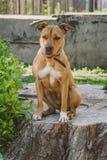年轻狗斯塔福德郡狗镇静地坐和微笑 库存照片
