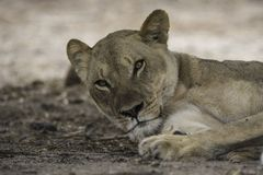 年轻狮子休息 库存图片
