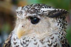 年轻猫头鹰画象关闭与头 免版税库存照片