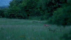 年轻獐鹿在森林沼地 影视素材