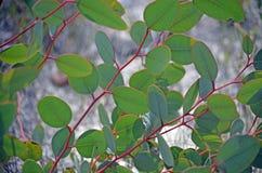 年轻玉树叶子在春天 免版税库存图片