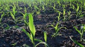年轻玉米在夏天 股票录像