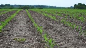 年轻玉米庄稼的领域 股票录像