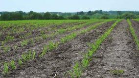 年轻玉米庄稼的领域 影视素材