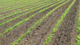 年轻甜玉米植物行  在领域的玉米幼木 免版税库存照片