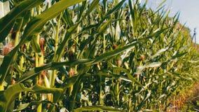 年轻甜玉米玉米棒在玉米田增长 影视素材