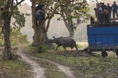 年轻男性一有角的犀牛后面发行在Chitwan国家公园,尼泊尔 免版税库存图片