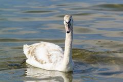 年轻疣鼻天鹅拉特 与五颜六色的羽毛和苍白额嘴的天鹅座olor 免版税库存照片