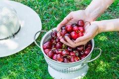 年轻白种人妇女在庭院里拿着放入白合金滤锅的极少数新近地被采摘的甜樱桃在绿草 免版税图库摄影