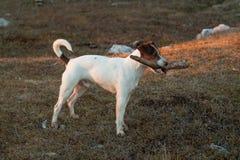 年轻白色教区牧师罗素狗 免版税库存照片