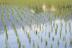 年轻稻米 库存图片