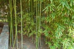 年轻竹子厚实的丛林  风景 竹光老黑 免版税库存图片