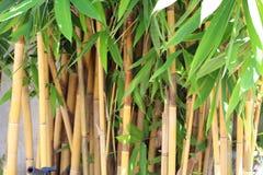 年轻竹子增长的词根和叶子  免版税库存照片