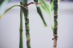 年轻竹茎 免版税库存照片