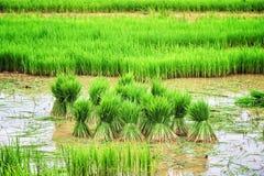 年轻米新芽准备好对生长在米领域 免版税库存照片