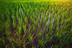 年轻粮食作物在日落的泰国 库存照片