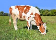 年轻红色和白色画象察觉了母牛 母牛全长关闭 吃草母牛的农场 免版税库存照片