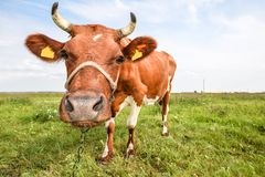 年轻红色和白色画象察觉了母牛 母牛枪口关闭 吃草母牛的农场 库存图片