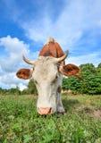 年轻红色和白色画象察觉了母牛 母牛枪口关闭 吃草母牛的农场 免版税库存照片