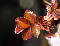年轻红色在灌木离开在春天 库存照片
