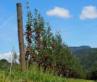 年轻红色苹果树行,培养在山,夏令时 图库摄影