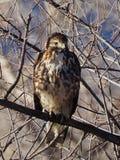 年轻红色被盯梢的鹰早晨 免版税库存照片