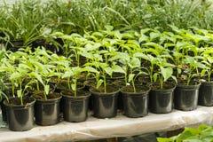 年轻绿叶自在一张桌上的一间温室在木盆 免版税库存照片