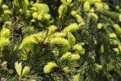 年轻绿色云杉的分支 库存照片
