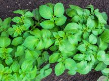 年轻绿色发芽的土豆射击在庭院里 免版税库存照片