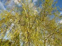 年轻绿色叶子和柔荑花在桦树 库存照片