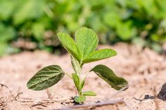 年轻绿色基因上修改了在领域或GMO大豆,最大氨基乙酸的大豆 库存图片