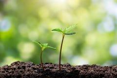 年轻绿色新芽用水从在被弄脏的绿色bokeh的土壤下降长大有软的阳光背景 库存照片