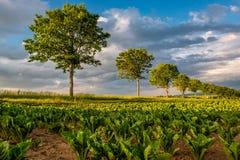 年轻绿色植物行一个肥沃领域的与黑暗的土壤在温暖的阳光下在剧烈的天空下 库存照片