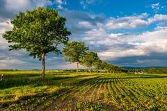年轻绿色植物行一个肥沃领域的与黑暗的土壤在温暖的阳光下在剧烈的天空下 免版税库存照片
