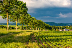 年轻绿色植物行一个肥沃领域的与黑暗的土壤在温暖的阳光下在剧烈的天空下 图库摄影