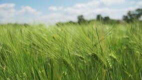 年轻绿色麦子和小尖峰在领域 慢的行动 影视素材