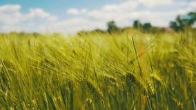 年轻绿色麦子和小尖峰在领域 慢的行动 股票视频