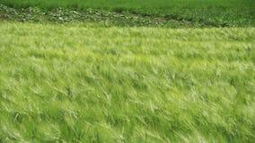 年轻绿色麦子和小尖峰在领域 慢的行动 股票录像