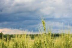 年轻绿色麦子钉或耳朵特写镜头、一个美好的五颜六色的风景与领域和蓝色多云天空在日落 免版税图库摄影