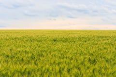 年轻绿色麦田,与蓝色多云天空的一个美好的五颜六色的风景在日落,选择聚焦 免版税库存图片