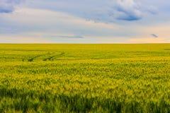 年轻绿色麦田,与蓝色多云天空的一个美好的五颜六色的风景在日落,选择聚焦 库存照片