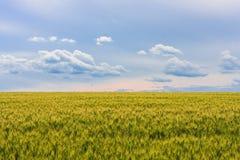 年轻绿色麦田,与蓝色多云天空的一个美好的五颜六色的风景在日落,选择聚焦 免版税图库摄影