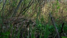 年轻绿草在光秃的分支中的丛林增长 股票录像