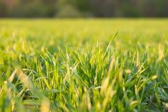 年轻绿草春天早晨特写镜头 库存图片