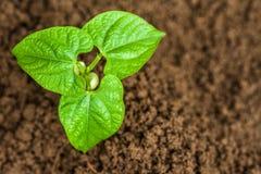 年轻绿豆芽 库存照片