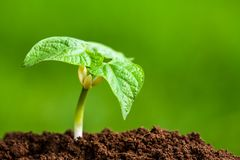 年轻绿豆芽 免版税库存照片