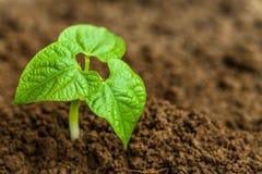 年轻绿豆芽 免版税图库摄影