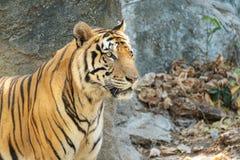 年轻美丽的伟大的男性印度支那的老虎豹属底格里斯河corbetti的关闭在动物园里 可爱的大似猫的不可靠的印度支那的钛 免版税库存照片